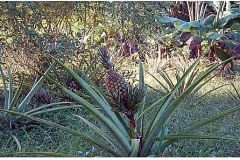 AGRICULTURE-ANANAS_