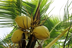 AGRICULTURE-COCOS_